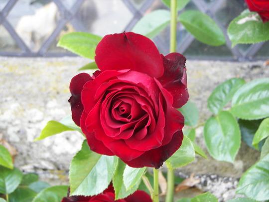 Close Up. Red Rose at Haddon Hall