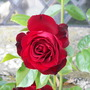 Close Up. Red Rose at Haddon Hall