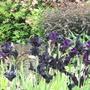 A mass of black iris Chatsworth