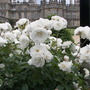 Roses at Burghley House