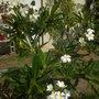 My Plumeria onbtusa 'Singapore' - Singapore Plumeria  (My Plumeria onbtusa 'Singapore' - Singapore Plumeria)