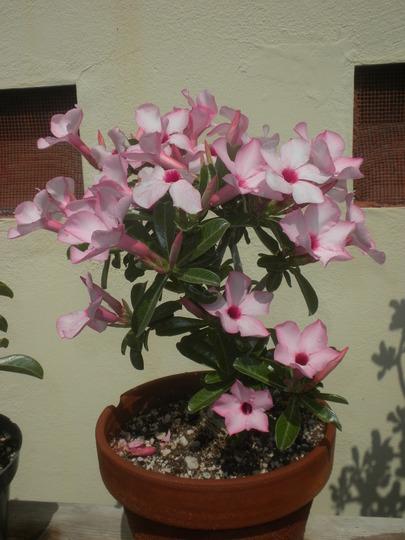 Adenium obesum 'Ice Pink' - Ice Pink Desert Rose Flowering (Adenium obesum 'Ice Pink' - Ice Pink Desert Rose)