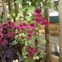 Lophospermum (Asarina erubescens (Asarina Bridal Bouquet))