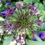 26_5_7.jpg (Allium cristophii (Ornamental onion))