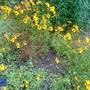 CBG Coreopsis basalis Gold King 2010-09-25