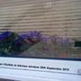 African Violets in kitchen window 2010-09-30 (Saintpaulia ionantha)