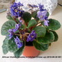 African_violets_double_in_kitchen_close_up_2010_09_30_001