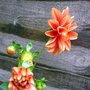 CHIMNEY POT DAHLIA MORE BUDS AND BLOOMS