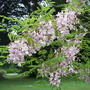 Pink Robinia, Grounds, Wilton House