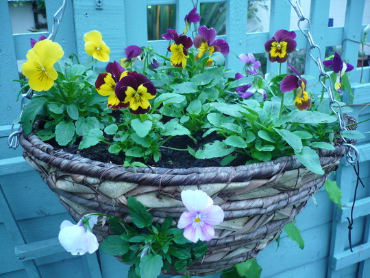 Trailing Pansies for Lily
