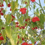 Chilie plant ?