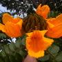 Spathodea campanulata 'aurea' - Gold/Yellow African Tulip Tree Flowers (Spathodea campanulata 'aurea' - Gold/Yellow African Tulip Tree)