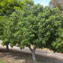 Ficus religiosa - Bodhi Tree, Sacred Fig (Ficus religiosa - Bodhi Tree, Sacred Fig)