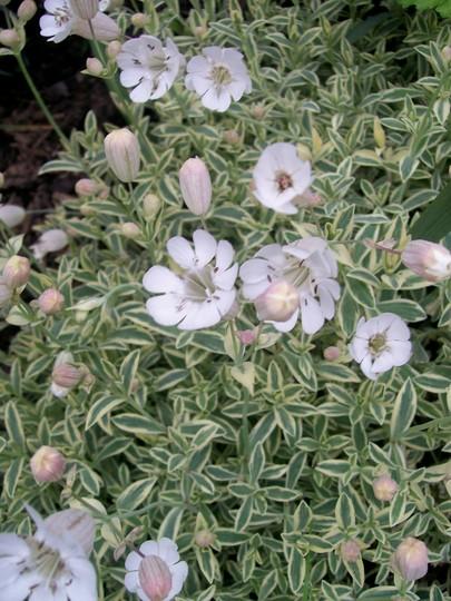bladder campion (Silene uniflora)