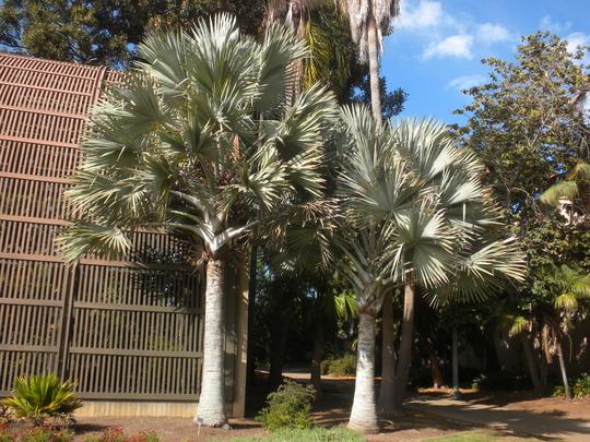 Bismarckia nobilis - Bismarck Palms (Bismarckia nobilis - Bismarck Palms)