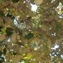 Pterospermum acerifolium - Dinner Plate Tree, Bayur Tree (Pterospermum acerifolium - Dinner Plate Tree)