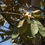 Pterospermum acerifolium - Dinner Plate Tree Flowers (Pterospermum acerifolium - Dinner Plate Tree Flowers)