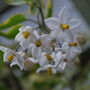 Solanum flowers. (Solanum jasminoides Aureovariegatum.)