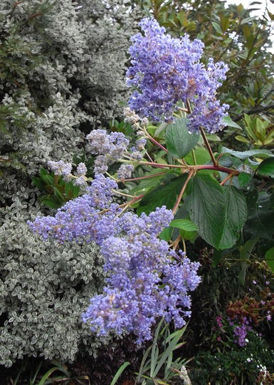 Ceanothus 'Gloire de Versailles' (autumn flowering) - 2010 (Ceanothus 'Gloire de Versailles')