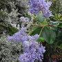 Ceanothus_gloire_de_versailles_autumn_flowering_2010