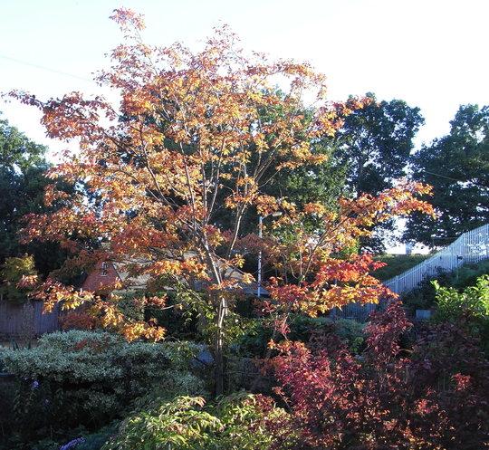 Front garden  - autumn  colours (Amelanchier lamarckii 'Ballerina')