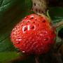 Strawberry Frageria