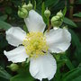 Carpenteria californica - close-up (Carpenteria californica)