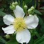 Carpenteria_californica_close_up