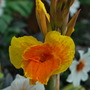 Canna flowering again and loads more to come...... (Canna Picasso.)