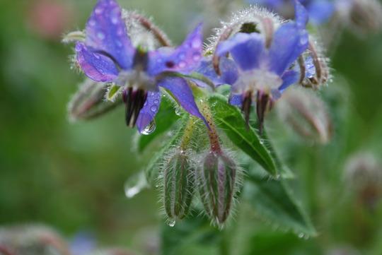 Borage in the rain....... (Borago officinalis)