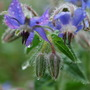 Borage in the rain....... (Borago officinalis)