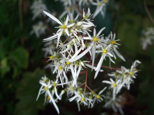 Saxifraga - like little stars. (Saxifraga cortusifolia)