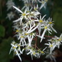 Saxifraga