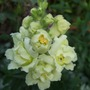 Cream_butterfly_antirrhinum