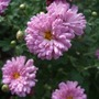 Chrysanthemum &#x27;Mei Kyo&#x27; (Chrysanthemum)