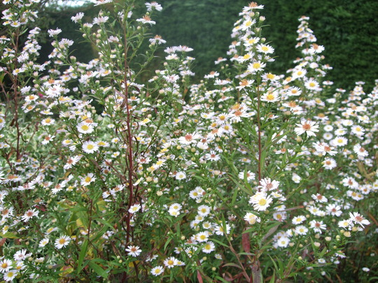 A cloud of Asters (Aster)