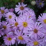 Asters in the rain (Aster)