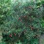 Crinodendron_hookerianum