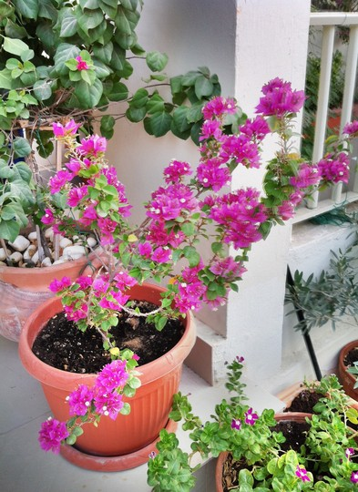 Bougainvillea Torch Glow (bougainvillea)