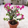 Potted Bougainvillea (bougainillea)