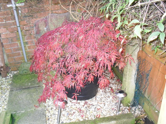 acer (Acer palmatum (Japanese maple))
