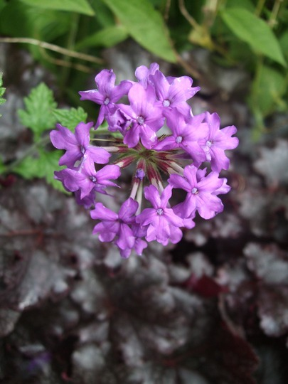 Verbena 'Homestead Purple' (Verbena 'Homestead Purple')