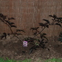 black beauty (Sambucus nigra (Black Elder))