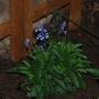purply blue salvias (Salvia clevelandii (Blue Salvia))
