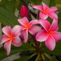 Plumeria &#x27;Thai&#x27; - Thai Plumeria (Plumeria &#x27;Thai&#x27; - Thai Plumeria)