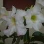 Adenium obesum unknown variety - Desert Rose (Adenium obesum - Desert rose)