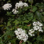 Pentas lanceolata -  White Star Flower