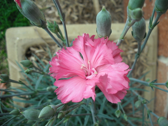 New PINK Carnation - specially for Linsuffolk