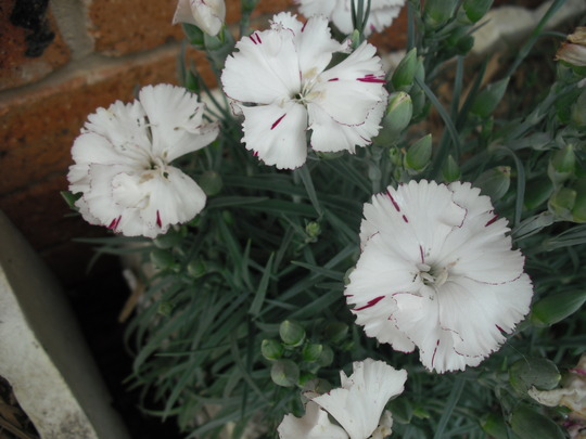 White Carnations - fully out now