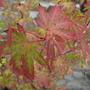 Acer leaves a mix of colour (acer)